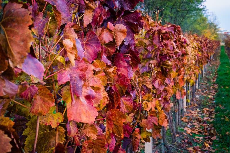 Winogradów jardy w jesieni obrazy stock