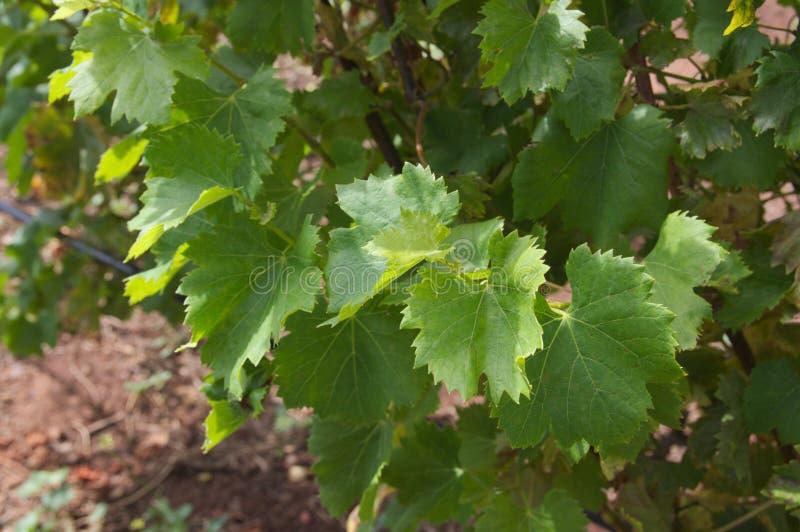 Winogradów liście pod lata słońcem obraz royalty free