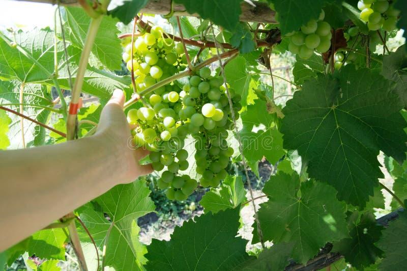 Winogradów winogrona w rękach rolnik Wiosna gronowego winogradu okulizowanie Zielony tło słoneczny dzień Rolnictwo sezonu zbierać zdjęcie stock