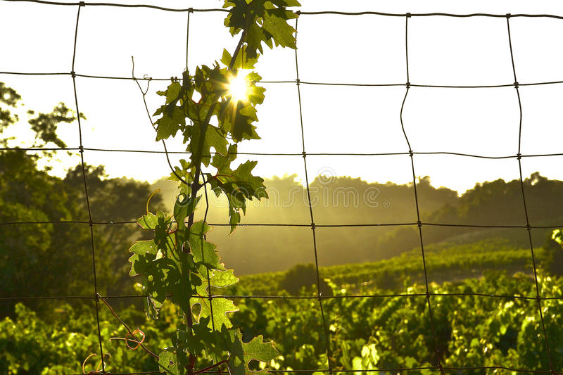 Winograd i słońce fotografia stock