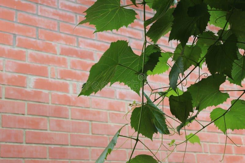 Winograd na ściana z cegieł tle zdjęcie stock