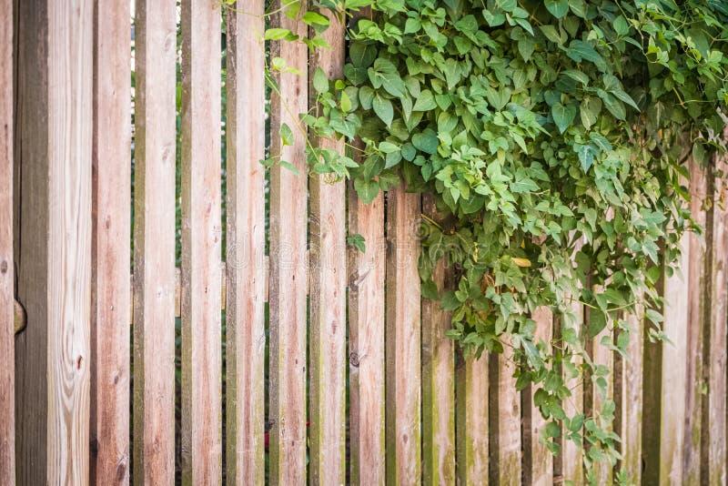 Winograd na drewna ogrodzeniu zdjęcia stock