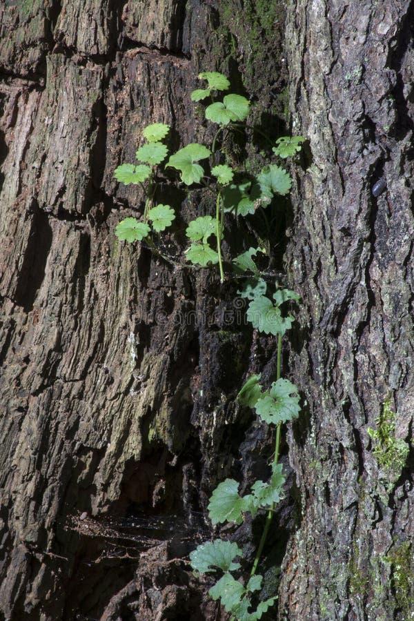 Winograd na drzewnej barkentynie obraz royalty free