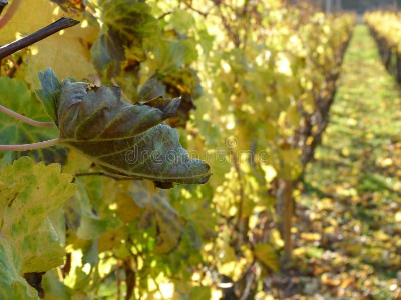 Winograd opuszcza w jesieni w pięknym plecy świetle zdjęcie royalty free