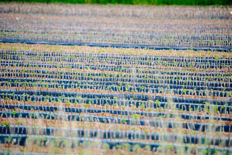 Winograd plantacji pepiniera z tysiącami malutkie gałąź obrazy stock