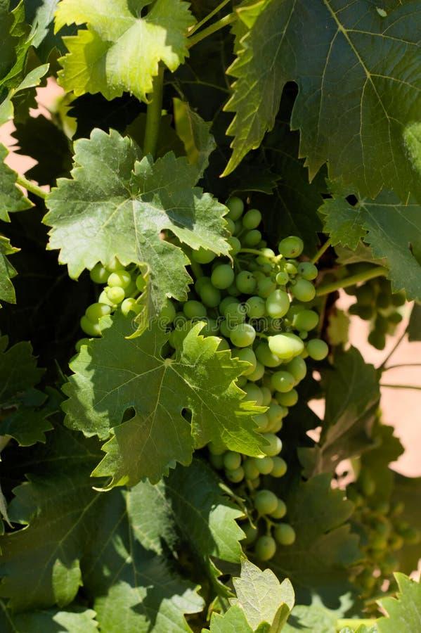 Winograd w lecie gdy ono będzie wciąż pełno zieleni grona obrazy royalty free