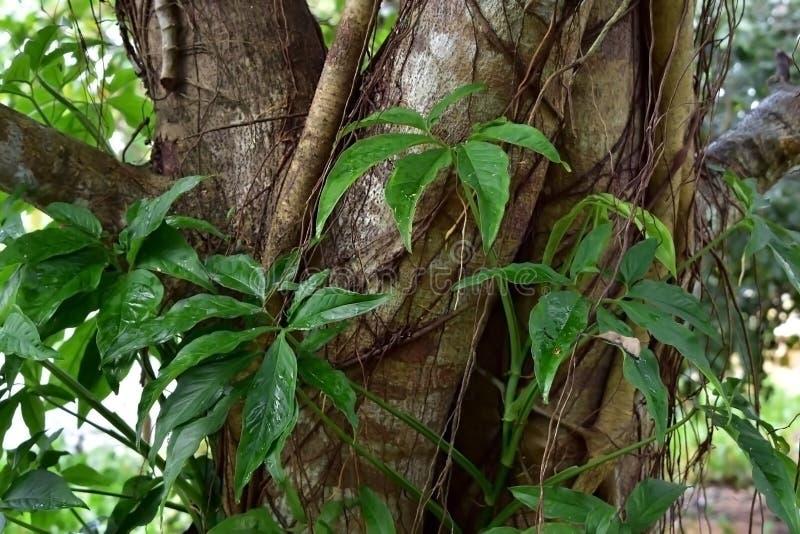 Winograd zakotwicza w drzewnej barkentynie zdjęcia stock