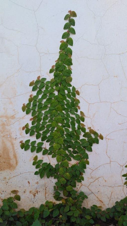 Winogrady na ścianie fotografia stock
