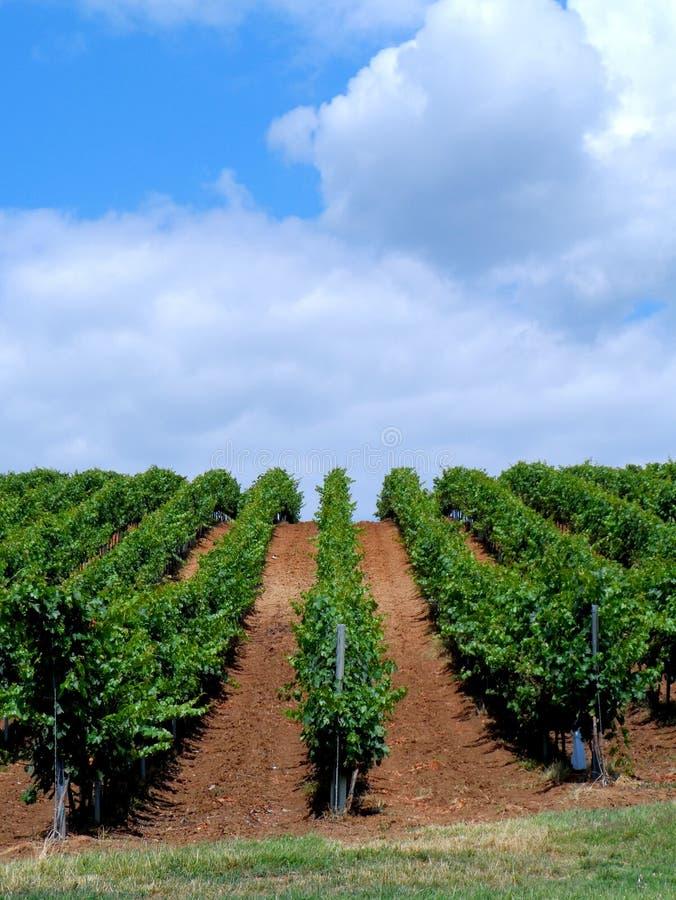 Winogrady w lecie zdjęcie royalty free