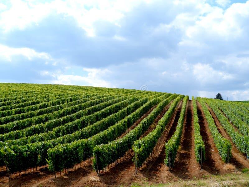 Winogrady w lecie zdjęcie stock