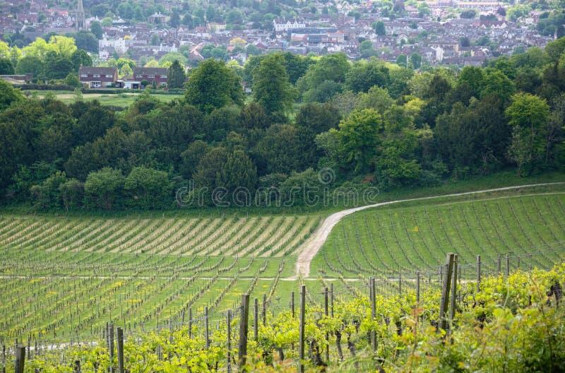 Winogrady w rzędach przy Angielskim winnicą zdjęcie royalty free