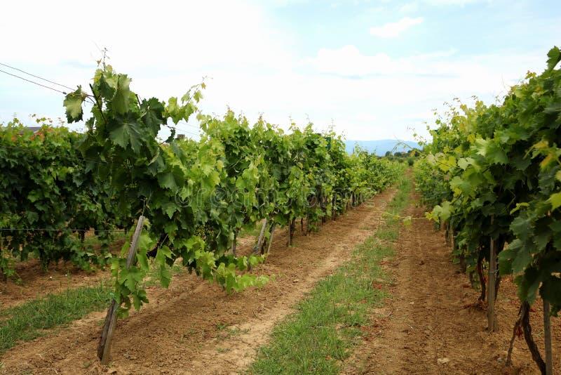 Winogrady w winnicy blisko wytw?rnii win w wiecz?r s?o?cu, Bia?ego wina winogrona przed ?niwem zdjęcie royalty free