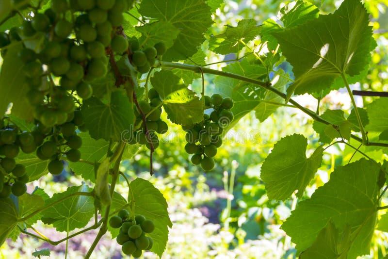 Winogrady z wiązkami jagody w backlight obrazy stock