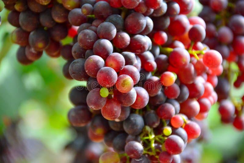 winogron czerwonych fotografia stock