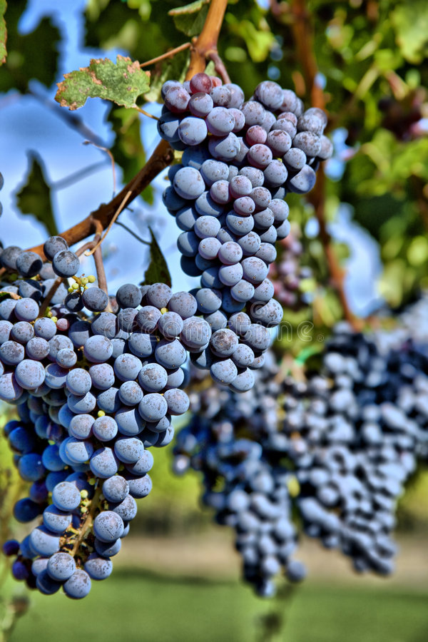 winogron hdr merlot winnica fotografia stock