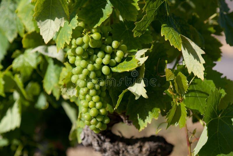 winogron losu angeles rioja zdjęcie stock
