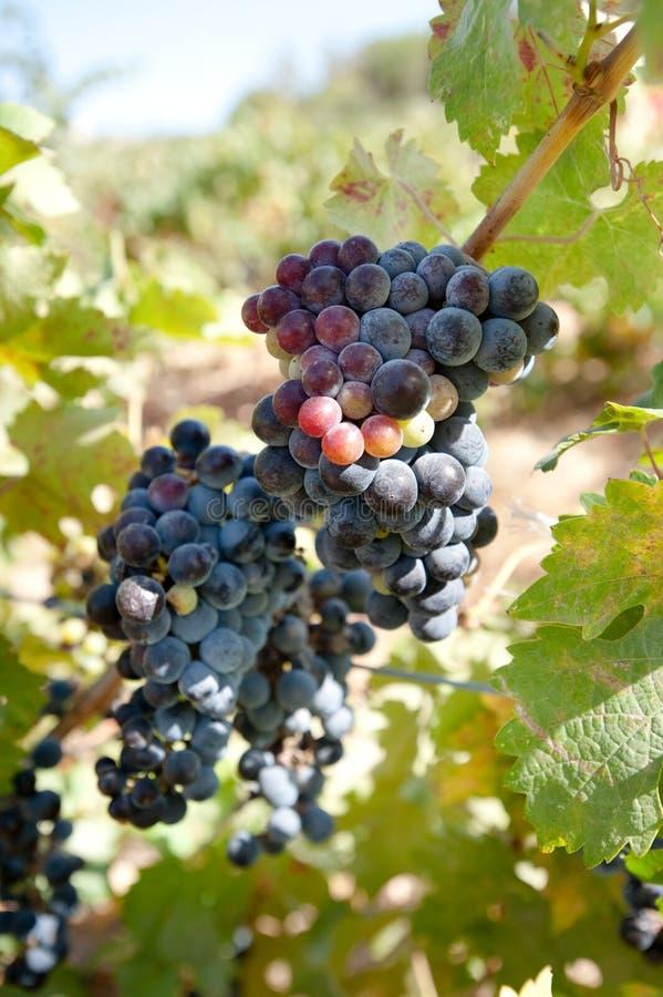 winogron merlot winograd obrazy royalty free
