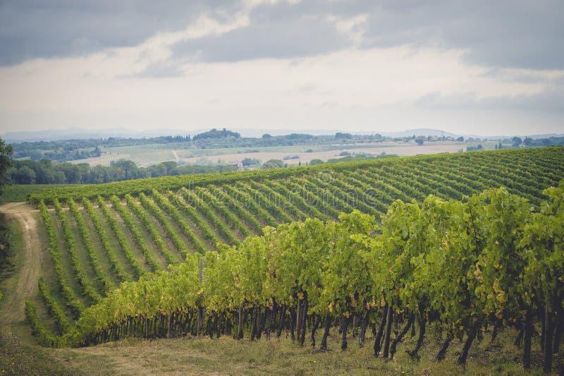 Winogron pola w Tuscany zdjęcie royalty free