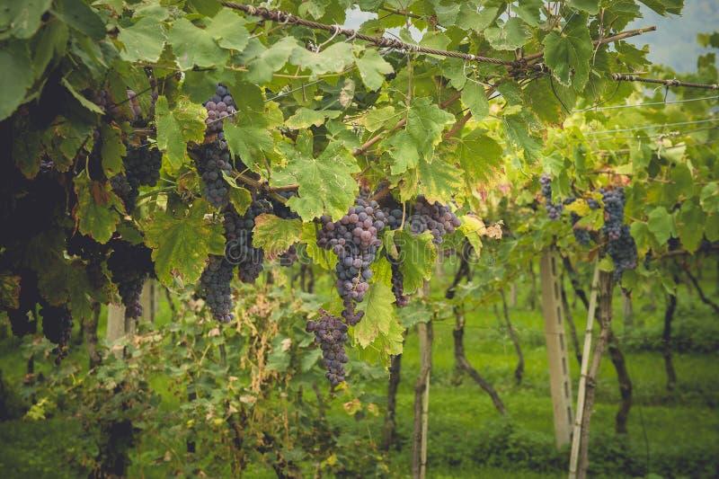 Winogron pola w Tuscany, Włochy zdjęcia stock