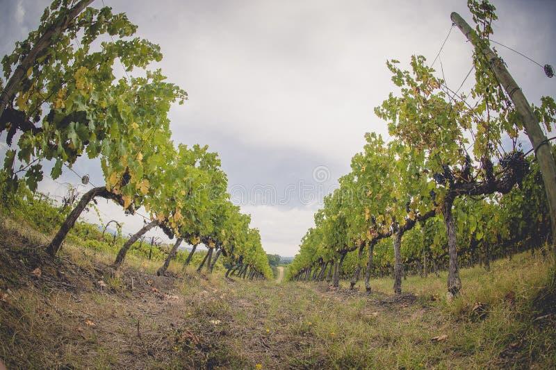 Winogron pola w Tuscany, Włochy zdjęcie royalty free
