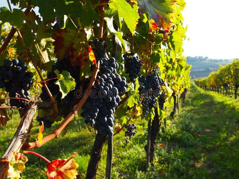 winogron rzędów winnica fotografia royalty free