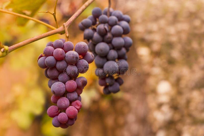 Winogrona obraz stock
