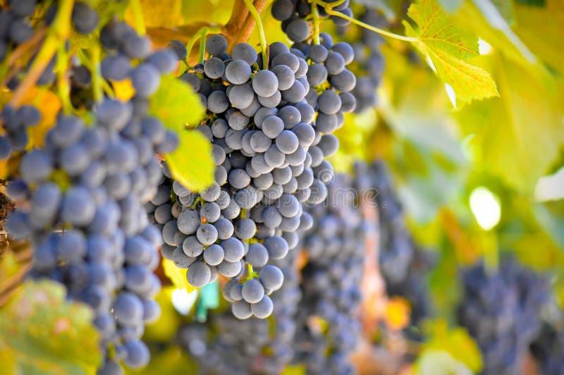 winogrona czerwoni zdjęcia stock