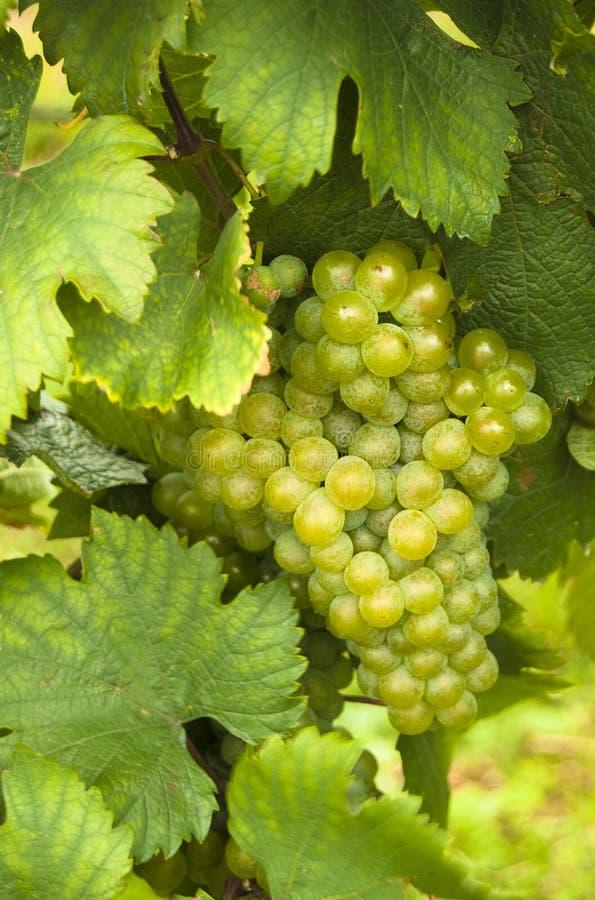winogrona dorośleć biel zdjęcia royalty free