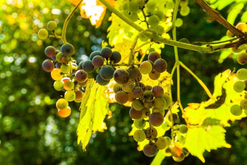 Winogrona dzikie uprawiane w lesie obraz royalty free