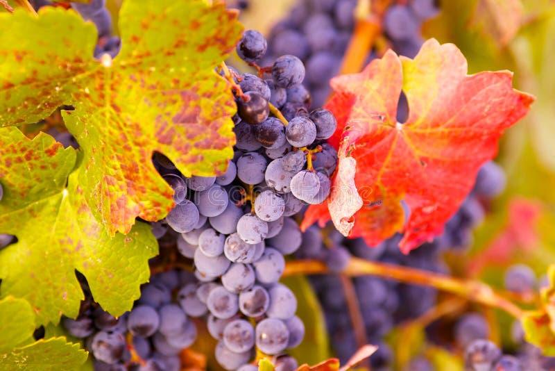 Winogrona i liść obrazy royalty free