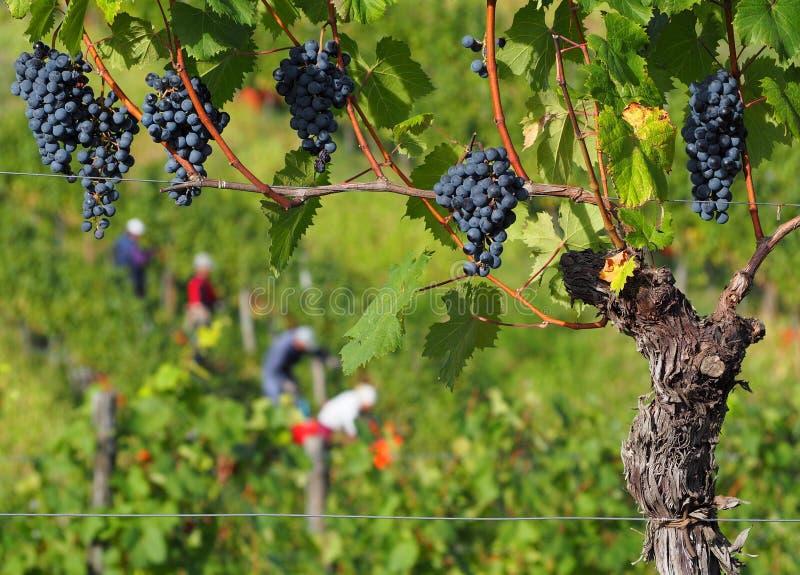 Winogrona i winorośl z Cabernet Franc, z rolnikami zbierającymi się w tle zdjęcia stock