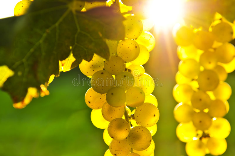 winogrona kolor żółty fotografia stock