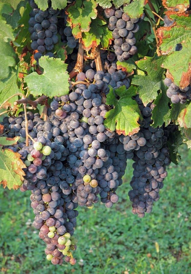 winogrona merlot zdjęcie royalty free