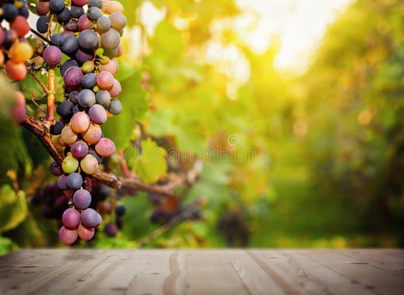 Winogrona na gałąź obraz royalty free
