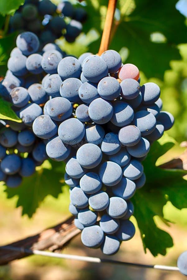 Winogrona na gałąź, Galowa rozmaitość Dojrzała owoc dla robić winu Brzęczenia zdjęcie stock