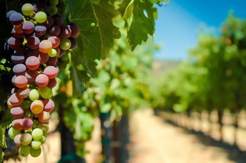 Winogrona na winogradzie obraz royalty free