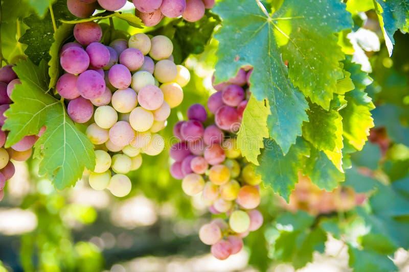 Winogrona na winogradzie zdjęcia royalty free
