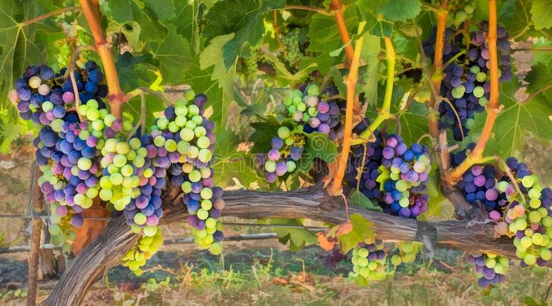 Winogrona na winogradzie fotografia stock