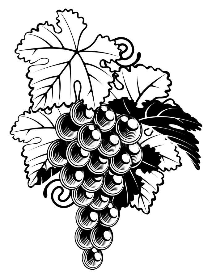 Winogrona na winorośli royalty ilustracja