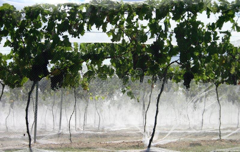 winogrona netto winorośli zdjęcia royalty free