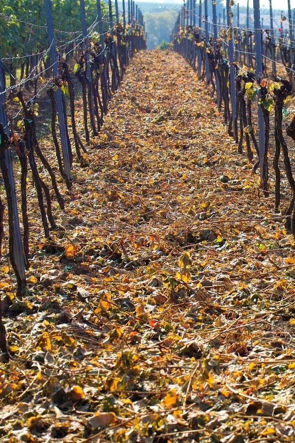 winogrona pokrojone wina. fotografia royalty free