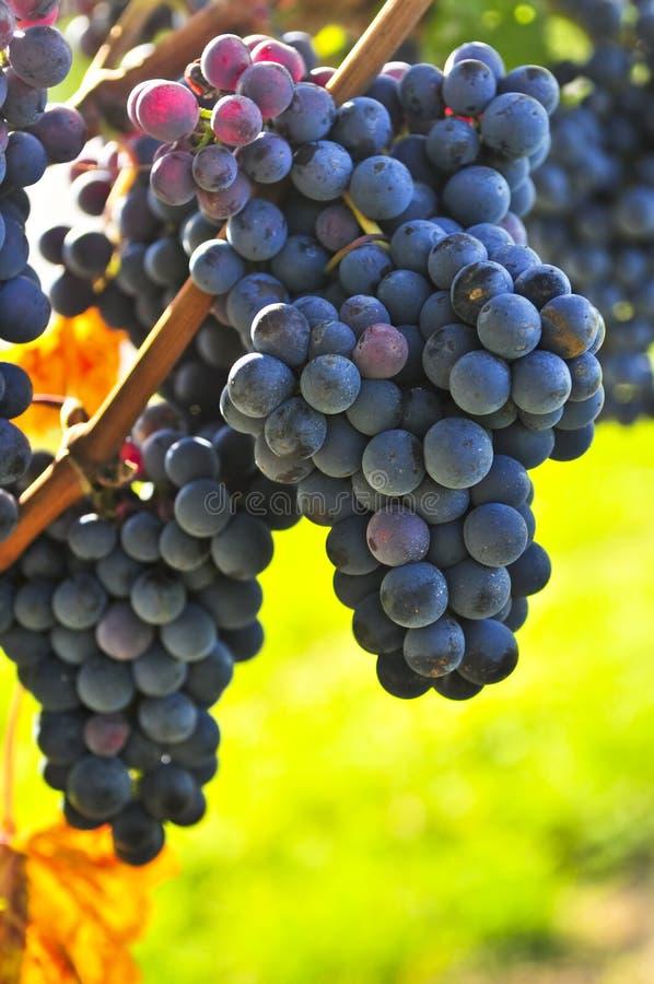 winogrona purpurowi obrazy stock