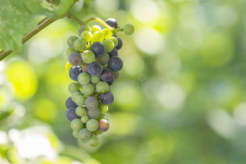 Winogrona r na plantaci fotografia stock