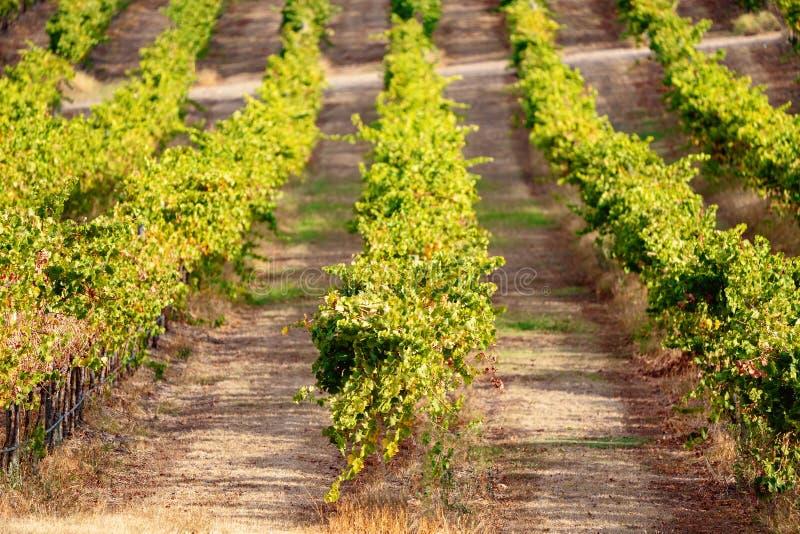 Winogrona r w winnicy w wina robić terenie kraj Australia obraz royalty free