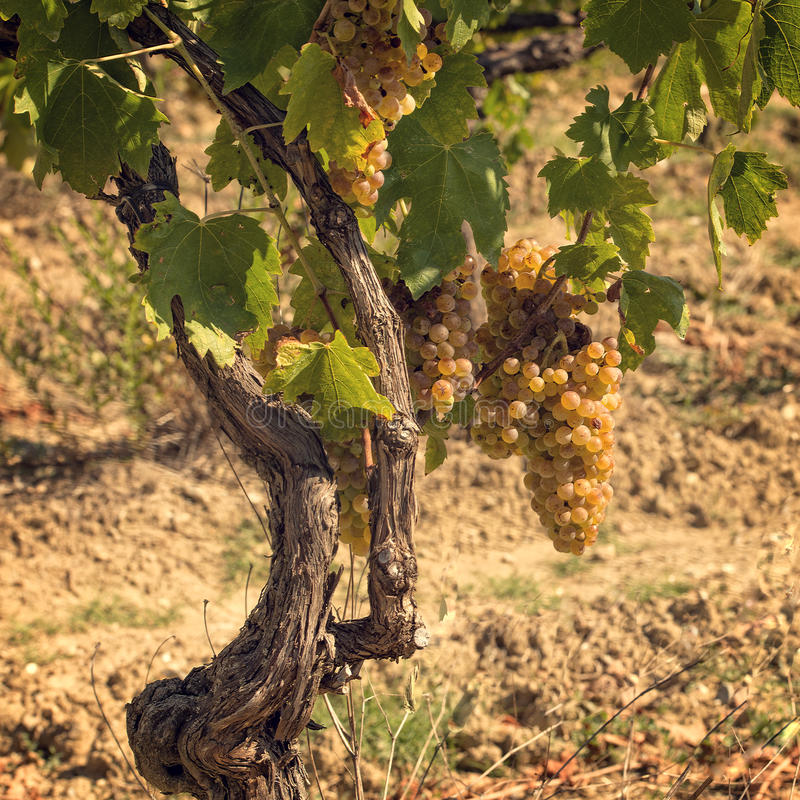 winogrona Tuscan obrazy stock