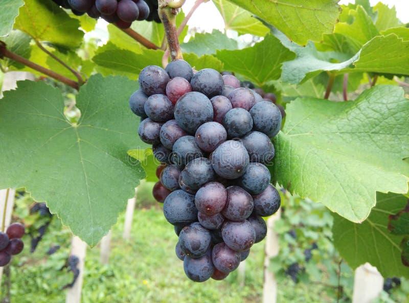 Winogrona w winnicy w późnym lecie fotografia royalty free