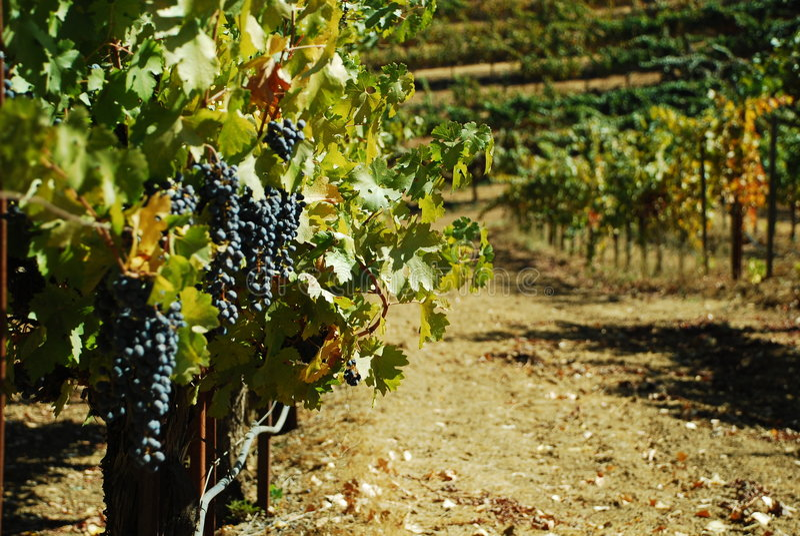 winogrona winorośli fotografia stock