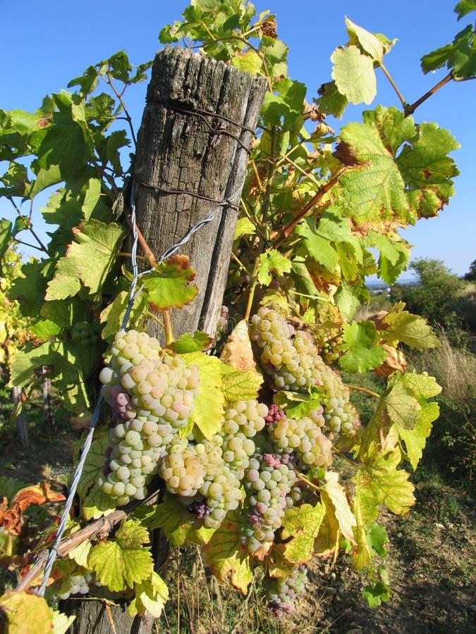 Download Winogrona winorośli zdjęcie stock. Obraz złożonej z ocet - 32864