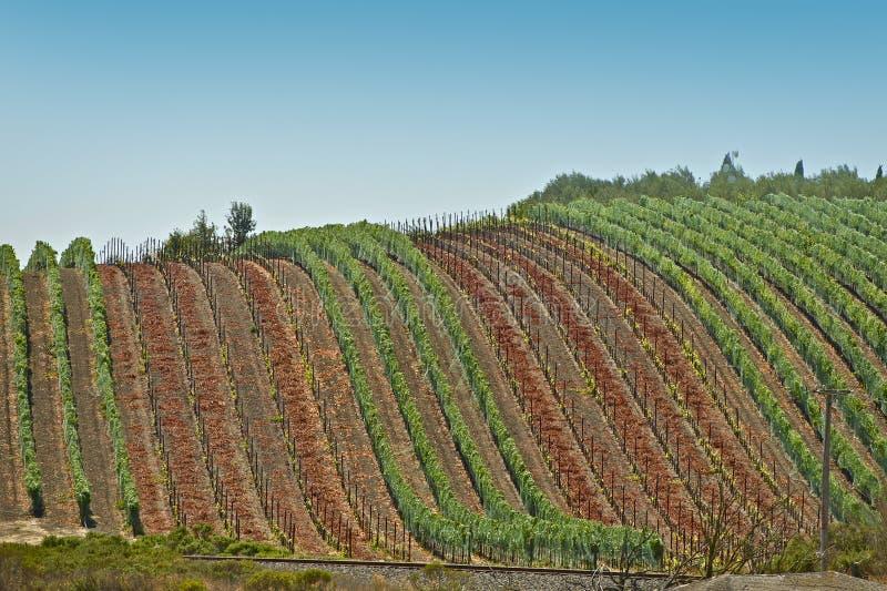 Winogrona Zbiera - winnicy zdjęcia stock