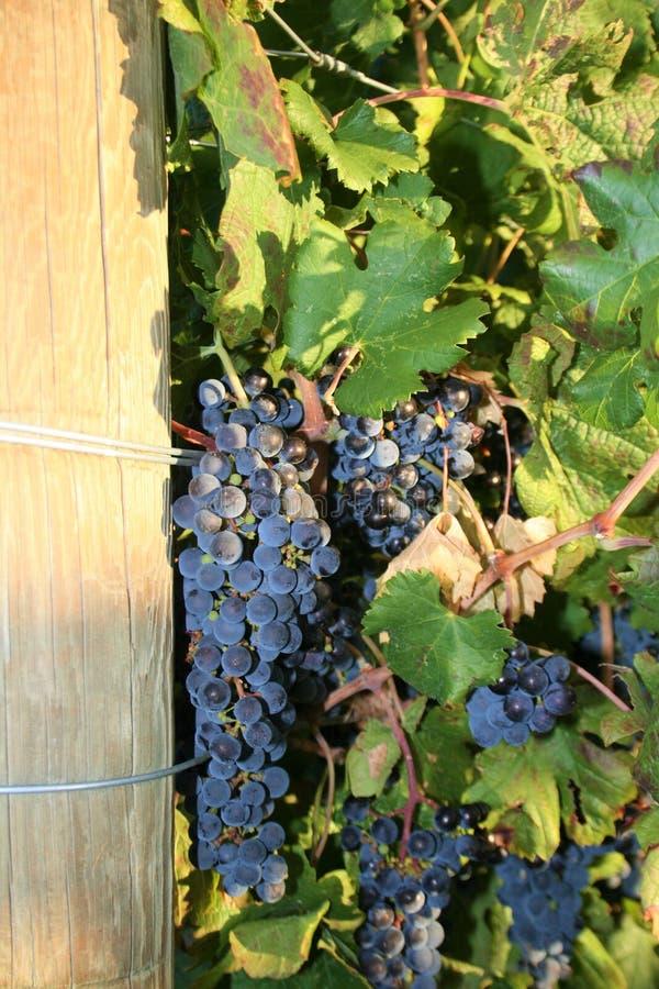 winogrona zbierają smakowitego wino obraz royalty free